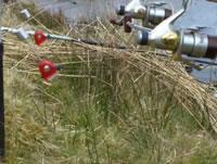 Dead-baiting for Specimen Perch