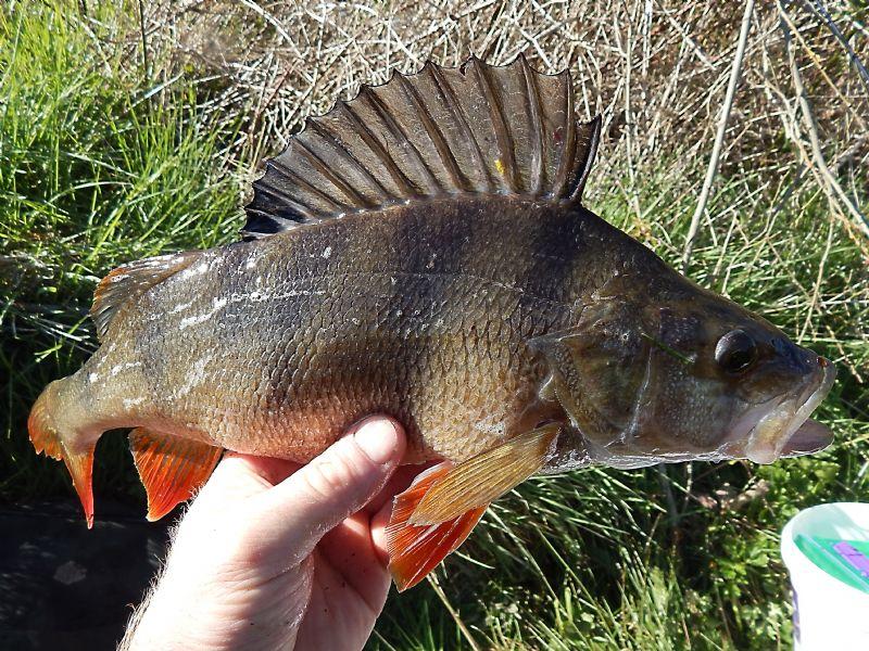 specimen perch, Irish Perch fishing, terry's travels