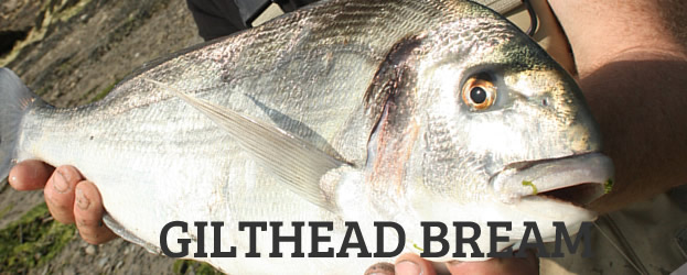 Fishing In Ireland Angling Ireland Fishbream Gilthead