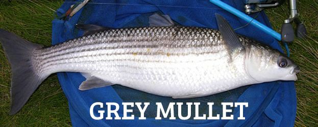 Fishing in ireland angling ireland mullet id thick lipped for Pictures of mullet fish