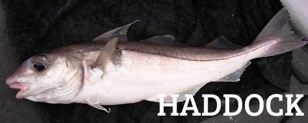 Haddock Fish | Fishing In Ireland Angling Ireland Salt Water Fish Id Haddock