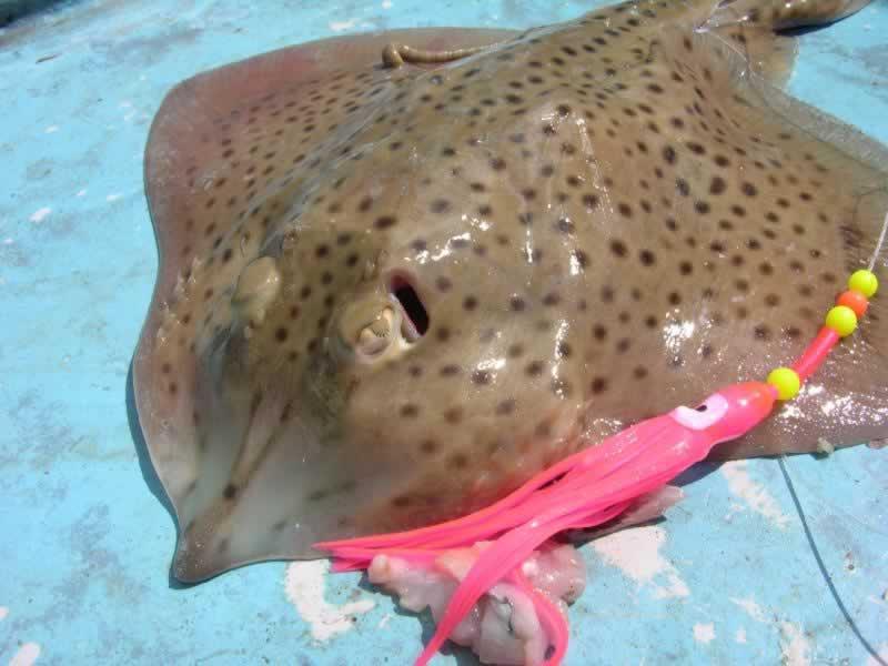 Ray homelyn irish salt water fish identification irish for Types of ray fish