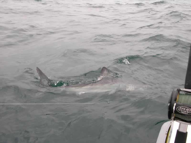 shark9.JPG
