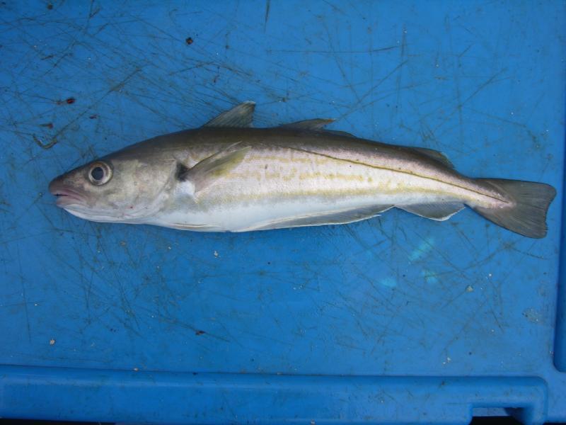 whiting irish salt water species identification irish ForWhiting Fish Picture
